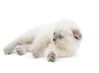 British lop-eared kitten looking to the side