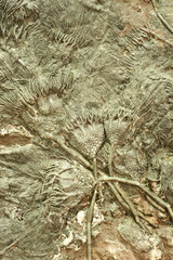 """Fossil sea lilies or """"Crinoids""""."""