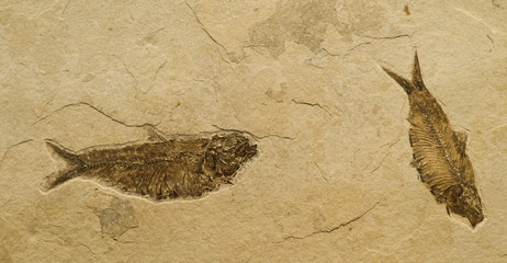 Fossil of 2 fish - knightia eocaena. Fossil Lake, Wyoming, USA