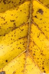 Herbst - Blatt-Adern