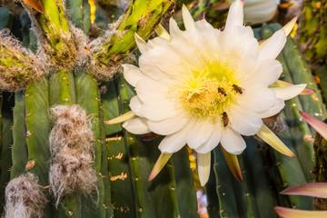 Bees on Cereus Cactus