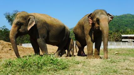 Elephants Asie blessés