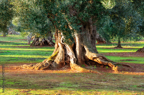Foto op Plexiglas Olijfboom Puglia Ulivo secolare