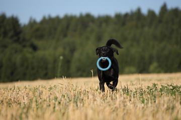 Schwarzer Hund im Feld