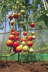 Red and green tomatoes ripening on the bush in a greenhouse