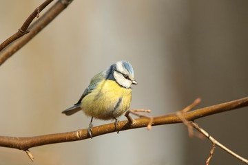 Blue tit (Parus caeruleus) on a twig in the morning