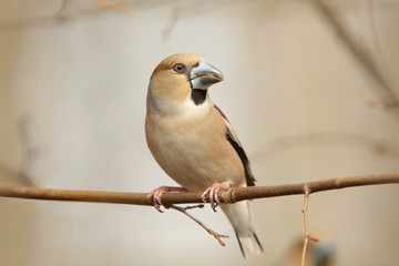 Female Hawfinch (Coccothraustes coccothrautes) on a branch