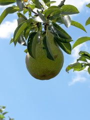 Green pears on tree branches