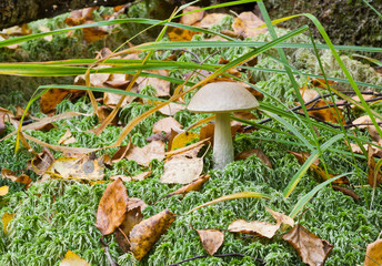 Mushroom ( birch boletus, Leccidium scabrum) in autumnal forest