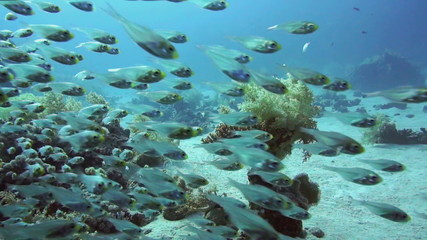 Shoal of Glassfish (Golden Sweepers)