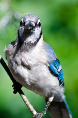 Blue Jay Making Eye Contact