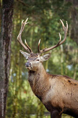 Fotobehang Hert Beautiful image of deer stag in forest landscape of forest in Au