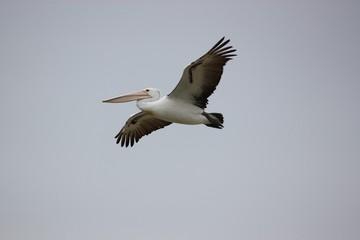 Australischer Pelikan - in Port Augusta - in Venus Bay