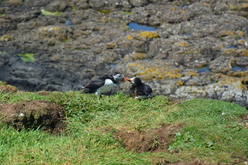 Kissing puffin