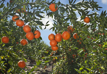 Ripe tangerines on a tree branch