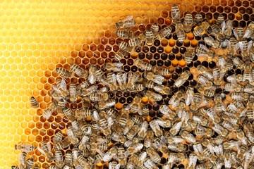 Bienenvolk auf Wabe