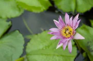 Pink Water Lily Flower Growing in Pond