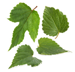 set of hop leaves  isolated on the white background