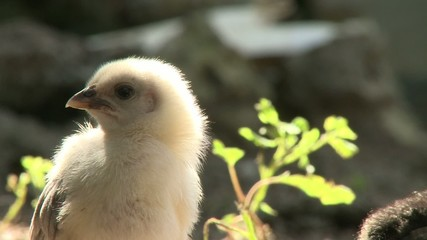 Adorable closeup of little chicken