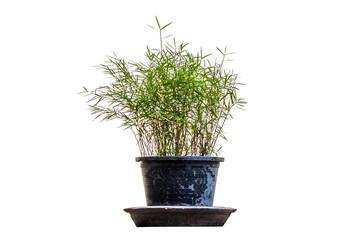 Little Bamboo.