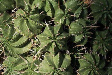 Euphorbia, Euphorbiaceae, Africa