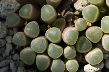 Fenestraria rhopalophylla, Aizoaceae, South Africa