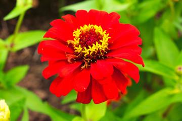 Shine red zinnia flower