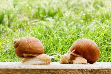 snails two big spring summer garden fresh grass drops