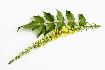 Blüten der Mahonien (Mahonia)