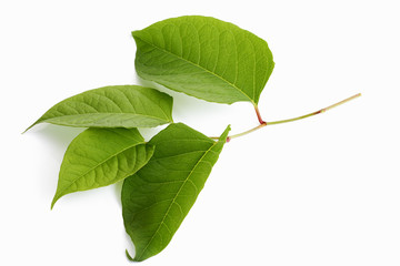Blätter Japanischer Knöterich, Staudenknöterich