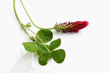 Purpur Klee (Trifolium rubens)
