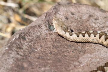 big female european nose horned viper