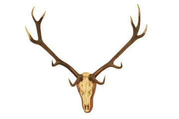 big stag hunting trophy