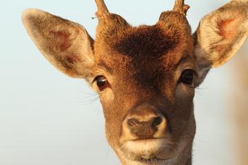 funny portrait of deer buck