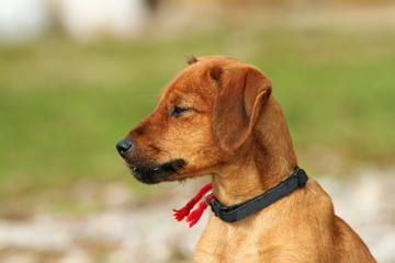 hungarian hunting dog outdoor portrait