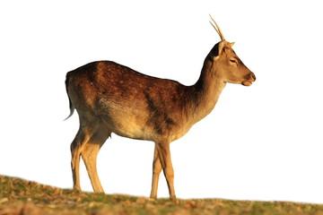 isolated fallow deer buck