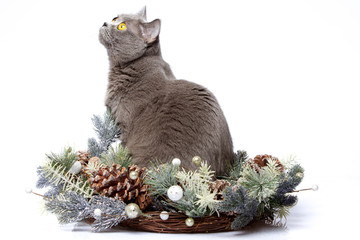 British cat with Christmas decorations
