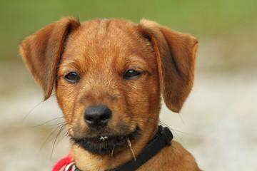 portrait of a vizsla puppy