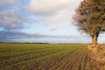 Wheat field in late autumn.