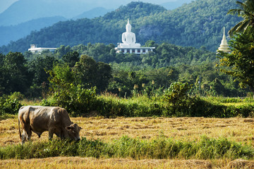 White buddha on the hill and cow