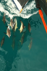 flock of dolphins travels with the ship