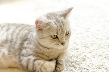寝そべる母猫 右向きアップ
