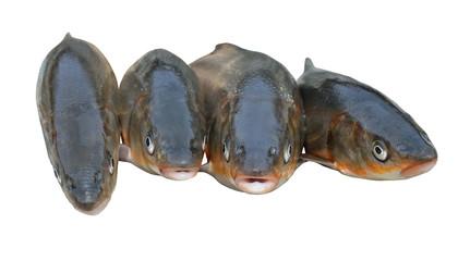 Fishes (Leuciscus brandti) 8