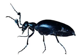 Beetle (Meloe sp. violatus) 23