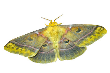 Butterfly (Saturnidae) 10