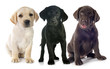 canvas print picture - puppies labrador retriever