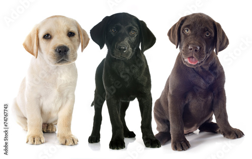 canvas print picture puppies labrador retriever