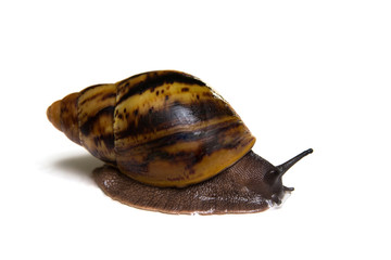 Giant african snail archachatina isolated