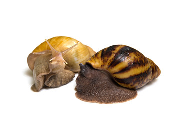 Giant african snail couple isolated