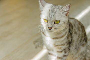 見つめるグレートラ猫 斜め向き